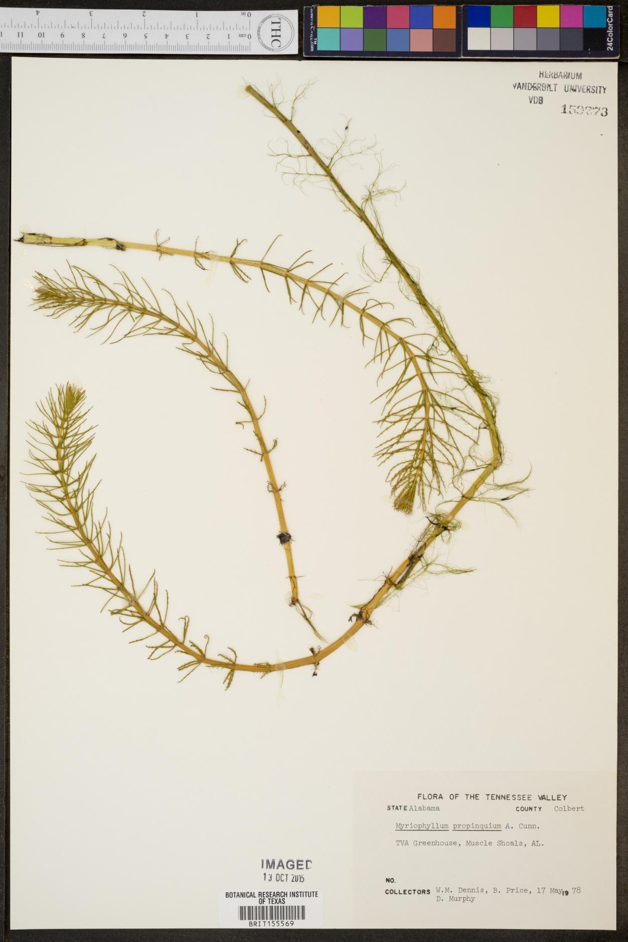 Myriophyllum propinquum image