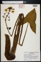 Sagittaria montevidensis image