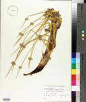 Image of Aciphylla aurea
