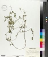Cologania pallida image