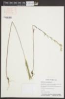 Image of Erysimum hieracifolium