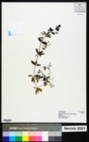 Image of Galium aparinoides