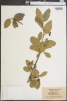 Image of Rhamnus betulaefolia