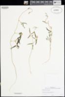 Phaseolus parvulus image