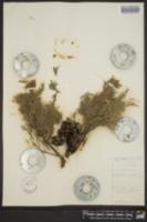 Cupressus goveniana image