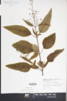 Scrophularia lanceolata image