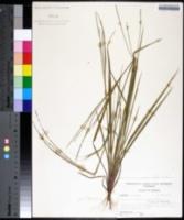 Image of Digitaria villosa