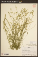 Image of Pediomelum digitatum