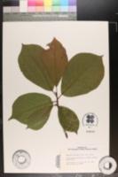 Magnolia sprengeri image
