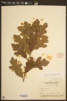 Image of Quercus margarettiae