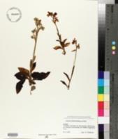 Ophrys tenthredinifera image