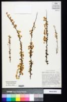 Spiraea prunifolia image