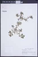 Pectis prostrata image