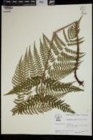 Dryopteris celsa image