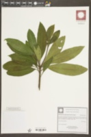 Image of Pittosporum daphniphylloides