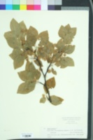 Image of Fagus sylvatica