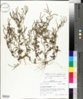 Heliotropium procumbens image