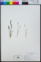 Image of Agrostis lacuna-vernalis