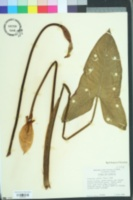 Image of Peltandra sagittifolia