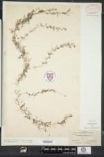 Utricularia geminiscapa image