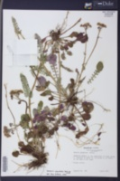 Packera obovata image