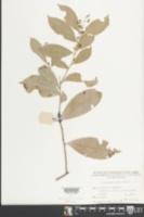Image of Celastrus hindsii