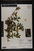 Image of Lonicera morrowii