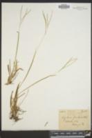 Digitaria floridana image