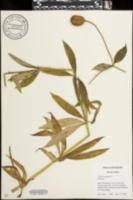 Image of Lilium canadense