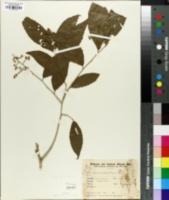 Image of Banara tomentosa