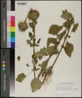 Leonotis nepetaefolia image