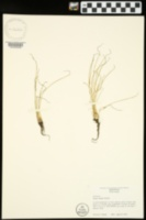 Isoetes butleri image