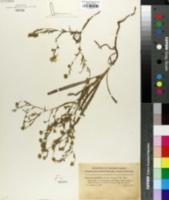 Image of Hemizonia grandiflora
