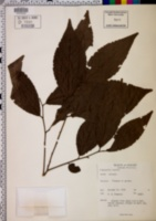 Image of Flacourtia inermis