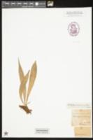 Image of Antrophyum coriaceum