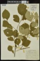 Styrax grandifolius image