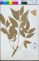 Fraxinus uhdei image