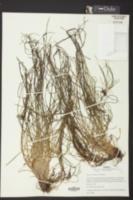 Isoetes hyemalis image