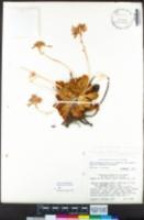 Lewisia cotyledon image