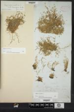 Sagina procumbens image