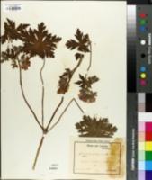 Image of Geranium platypetalum