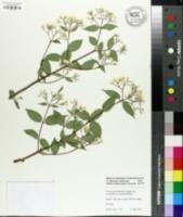 Image of Deutzia setchuenensis