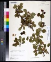 Image of Crataegus leonensis