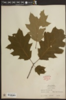 Quercus velutina image
