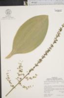 Image of Melanthium parviflorum