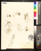 Lilaeopsis chinensis image