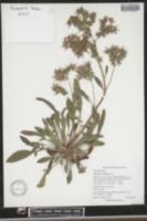 Image of Phacelia corymbosa