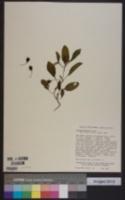 Image of Solanum somalense
