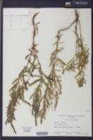 Iva asperifolia image