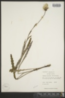 Image of Carduus lecontei